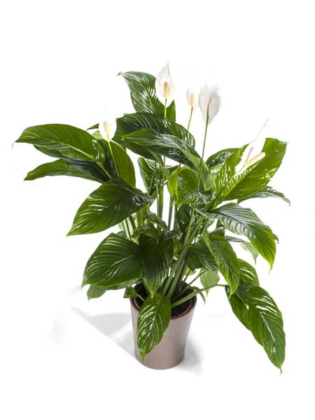 spathiphyllum ou fleur de lune villaverde. Black Bedroom Furniture Sets. Home Design Ideas